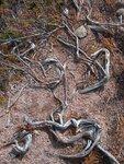 Amused Roots