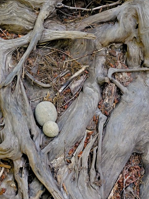 Mantis Eggs