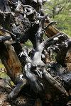 Root Dance